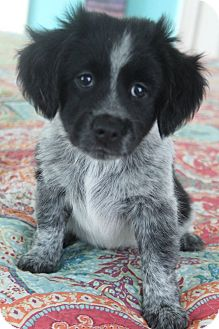 Golden Retriever/Blue Heeler Mix Puppy for adoption in Allentown, Pennsylvania - Duffy