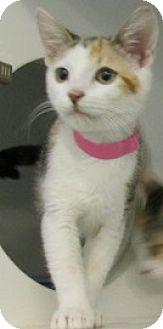 Calico Kitten for adoption in Aiken, South Carolina - CORALLINE