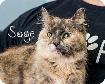 Domestic Mediumhair Cat for adoption in Somerset, Pennsylvania - Sage