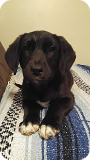 Australian Shepherd/Labrador Retriever Mix Puppy for adoption in Camilla, Georgia - Dallas