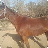 Thoroughbred Mix for adoption in Elk Grove, California - Dandy
