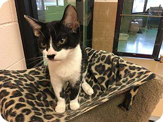 Domestic Shorthair Kitten for adoption in Gadsden, Alabama - Cora
