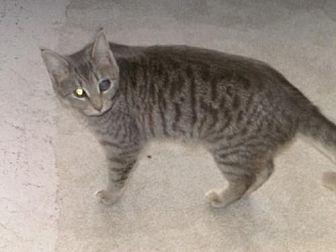 Domestic Shorthair Cat for adoption in Sparta, Wisconsin - AnnaBella