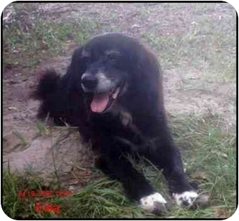 Border Collie/Cocker Spaniel Mix Dog for adoption in Chiefland, Florida - Elsa