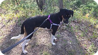Pointer/Hound (Unknown Type) Mix Dog for adoption in Brick, New Jersey - FRAGGLE