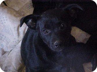 Border Collie/Terrier (Unknown Type, Medium) Mix Puppy for adoption in Lafayette, Louisiana - Sassy