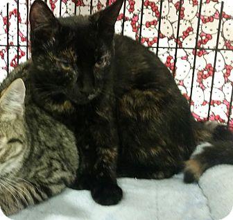 Calico Kitten for adoption in Colmar, Pennsylvania - Midnight