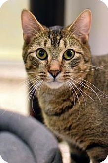 Domestic Shorthair Cat for adoption in Aiken, South Carolina - Amaranth