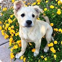 Adopt A Pet :: Pedal - Gilbert, AZ
