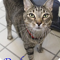 Adopt A Pet :: Dash - Bradenton, FL