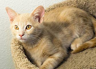 Domestic Shorthair Kitten for adoption in Montclair, California - Albert