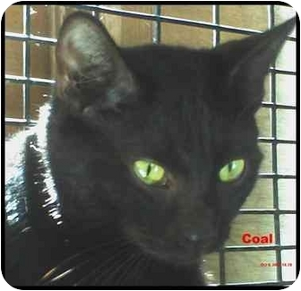 Domestic Shorthair Cat for adoption in Chiefland, Florida - Coal-HEARTS & HOPE:$25.00
