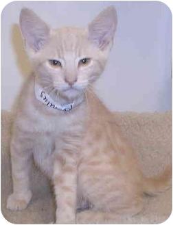 Domestic Shorthair Kitten for adoption in San Diego, California - Romulus