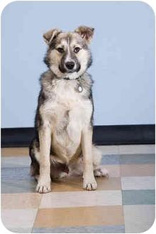 German Shepherd Dog/Husky Mix Puppy for adoption in Portland, Oregon - Cetic