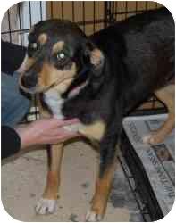 Doberman Pinscher/Shepherd (Unknown Type) Mix Dog for adoption in Gallatin, Tennessee - Missy