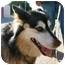 Photo 4 - Collie/Husky Mix Dog for adoption in Los Angeles, California - KIZZY
