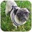 Photo 3 - Pug Dog for adoption in Front Royal, Virginia - Samantha