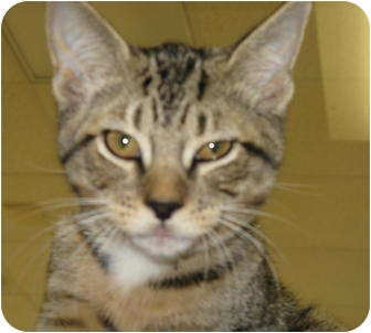 Domestic Shorthair Kitten for adoption in Sarasota, Florida - Lily