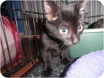 Domestic Shorthair Cat for adoption in Warren, Michigan - Jetson