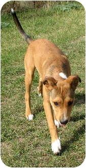 Collie/Shepherd (Unknown Type) Mix Puppy for adoption in Colville, Washington - Mickey