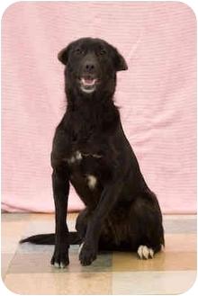 Labrador Retriever/Border Collie Mix Dog for adoption in Portland, Oregon - Lucy
