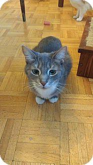 Domestic Shorthair Cat for adoption in Toronto, Ontario - Ava - Foster