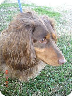 Dachshund Dog for adoption in Stilwell, Oklahoma - Frodo
