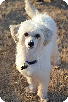 Chinese Crested Mix Dog for adoption in Knoxville, Tennessee - Journey