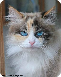 Ragdoll Cat for adoption in Davis, California - Bunny