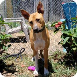 Black Mouth Cur Mix Dog for adoption in Bradenton, Florida - Georgie