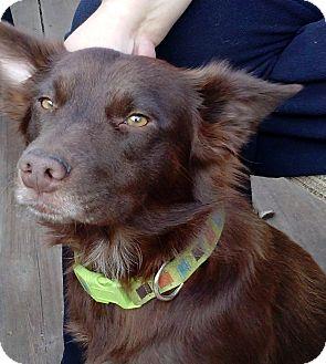 Boykin Spaniel/Australian Shepherd Mix Dog for adoption in Largo, Florida - Molly