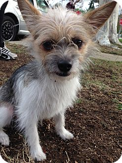 Wheaten Terrier/Rat Terrier Mix Dog for adoption in Encino, California - Jack