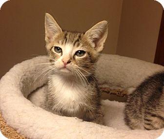 Domestic Shorthair Kitten for adoption in Wayne, New Jersey - Donner