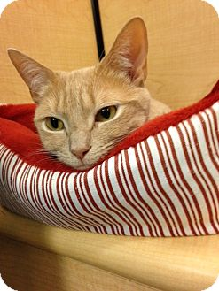 Domestic Shorthair Cat for adoption in Voorhees, New Jersey - Mindy - PetValu
