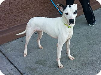 Dalmatian Mix Dog for adoption in Smyrna, Georgia - Pookie
