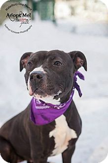 Pit Bull Terrier Mix Dog for adoption in Middlebury, Connecticut - Jill