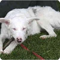 Adopt A Pet :: Lars - Mesa, AZ