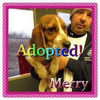 Basset Hound Puppy for adoption in Kenmore, New York - Merry