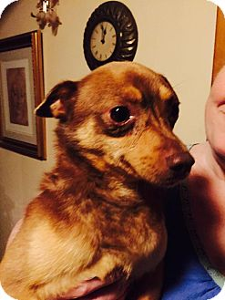 Chihuahua/Fox Terrier (Smooth) Mix Dog for adoption in Grand Rapids, Michigan - Gunther