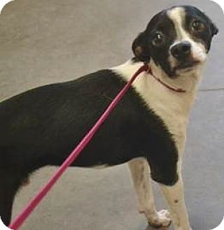 Chihuahua Mix Puppy for adoption in Meridian, Idaho - Ace