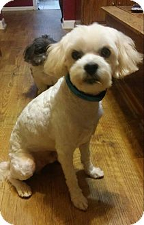 Schnauzer (Miniature)/Maltese Mix Dog for adoption in Bedminster, New Jersey - Si