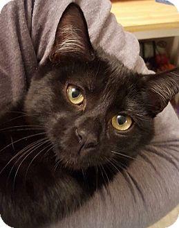 Domestic Shorthair Kitten for adoption in Horsham, Pennsylvania - Ninja