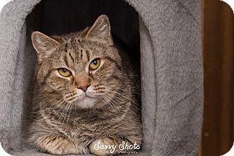 Domestic Shorthair Cat for adoption in Greensburg, Pennsylvania - Meeko