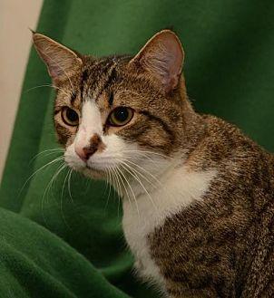 Domestic Shorthair Cat for adoption in Sanford, Florida - Kino *F*