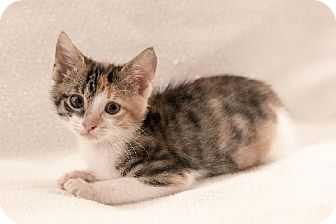 Calico Kitten for adoption in Tallahassee, Florida - Amberlee