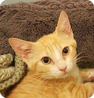 Domestic Shorthair Kitten for adoption in Brimfield, Massachusetts - Jules