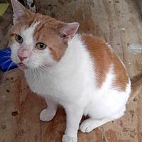 Domestic Shorthair Cat for adoption in Philadelphia, Pennsylvania - Mack