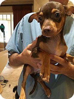 Miniature Pinscher/Chihuahua Mix Puppy for adoption in Oviedo, Florida - Peanut