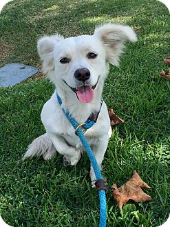 Pomeranian Mix Dog for adoption in Mission Viejo, California - Falcor