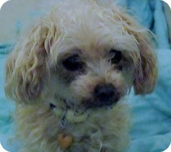 Poodle (Toy or Tea Cup) Mix Dog for adoption in Lloydminster, Alberta - Curly Sue